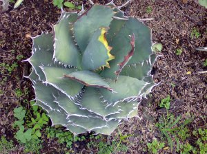 agave Titanota cv.'kyoto'