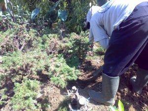 Menggali bahan crmara duri 16-07-2009