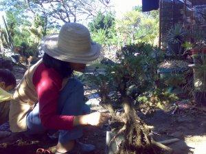 Menyikat batang cemara duri 17-07-2009.