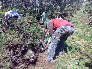 Menggali bahan cemara duri 16-07-2009