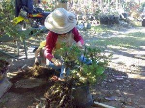 Membersihkan lumut dari batang cemara duri 17-07-2009.