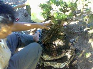 Melepas karung pembungkus akar cemara duri