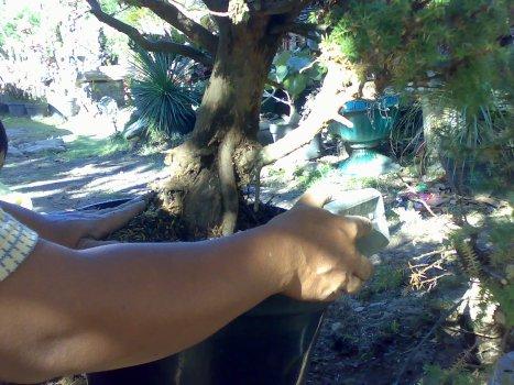 Cemara duri sementara dipot plastik sampai akar serbut keluar 17-07-2009