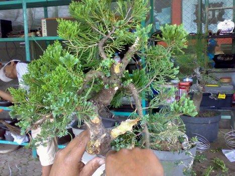 Cemara pua 19-07-2010