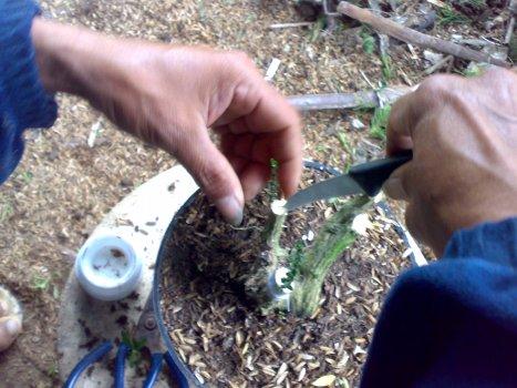 15-05-2013 cabang dibelah untuk menyisipkan pucuk tanaman.